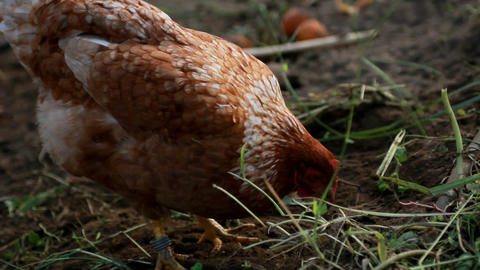 Hens stock footage