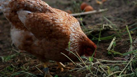 Hens Footage