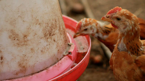 Little chickens drinking Stock Video Footage