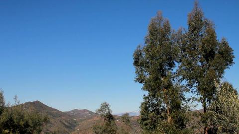 An eucalyptus tree falling Stock Video Footage