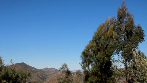 An eucalyptus tree falling Footage