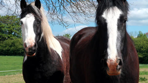 A couple of Irish horses Stock Video Footage