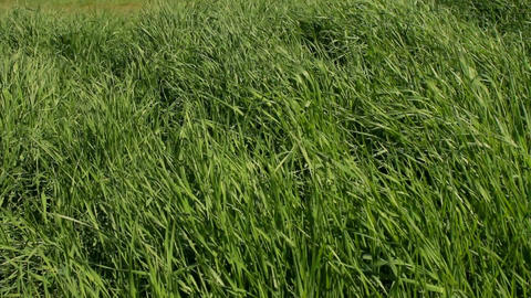 A field with grass in a windy day Stock Video Footage