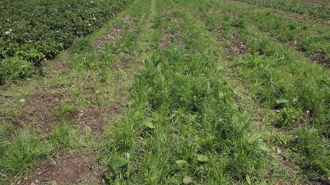 An organic carrot field Stock Video Footage