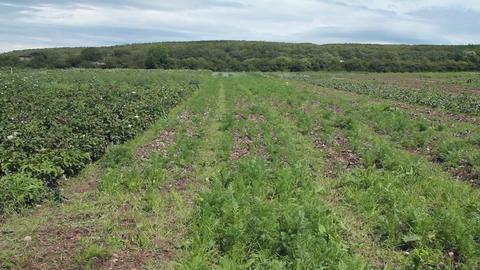 An organic carrot field Stock Video Footage