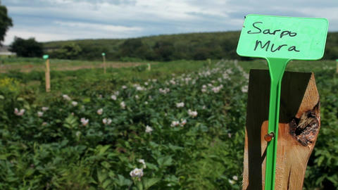 A field of potatoes Stock Video Footage