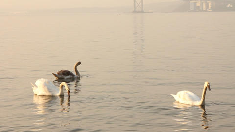 Group of swans swimming in the sea Footage