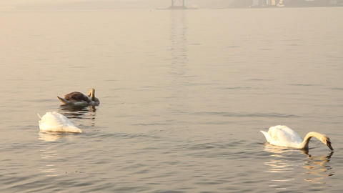 Group of swans swimming in the sea Stock Video Footage