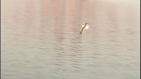 Seagull flying skimming the sea – Slow motion Stock Video Footage