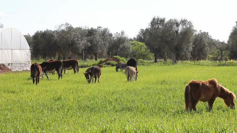 Grass field with grazing donkeys Stock Video Footage
