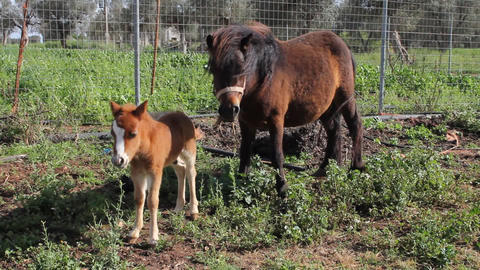 A Little Pony With His Mother In The South Of Italy, In Spring. stock footage
