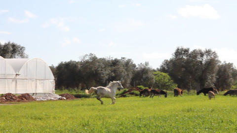 A white horse running in a field Stock Video Footage