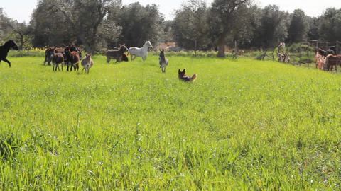 A dog in a field with donkeys and horses Stock Video Footage