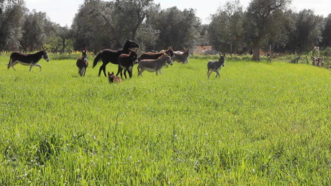 A dog in a field with donkeys and horses Footage