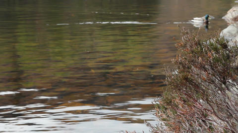 Duck swimming in a lake Stock Video Footage