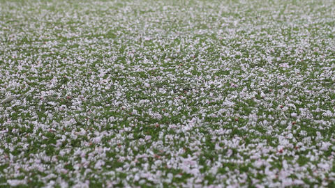 Pink petals flying in the wind and on the grass Stock Video Footage