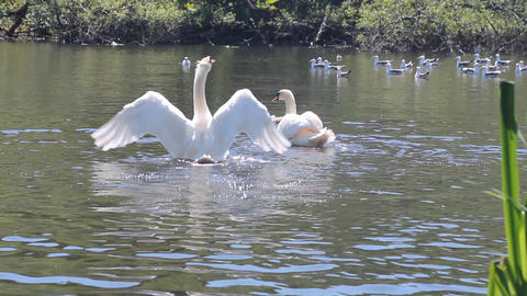 Couple of swans fighting against some seagulls Footage