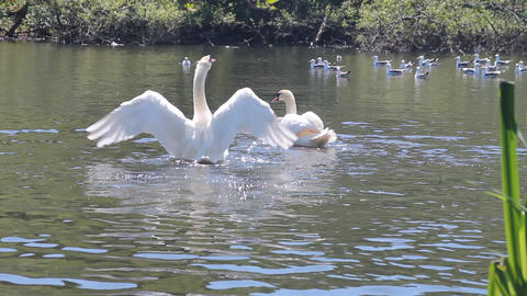 Couple of swans fighting against some seagulls Stock Video Footage