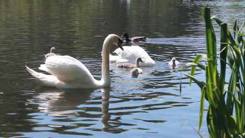 Couple of swans swimming in a pond with their cygn Footage