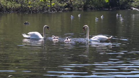 Couple of swans swimming in a pond with their cygn Stock Video Footage