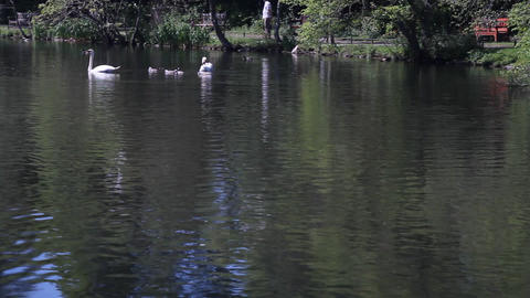 Ducks and swans swimming in a pond Footage