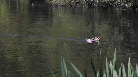 Couple of ducks swimming in a pond Stock Video Footage