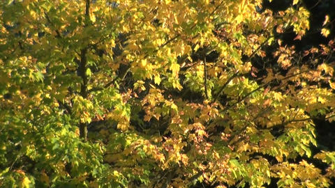 Trees in Wind - Bäume im Wind Stock Video Footage