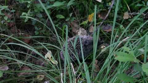 Hedgehog in grass Stock Video Footage