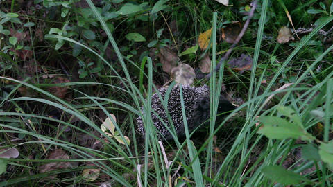 Hedgehog in grass Footage