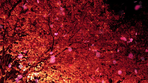 Cherry Blossoms 23116j Stock Video Footage