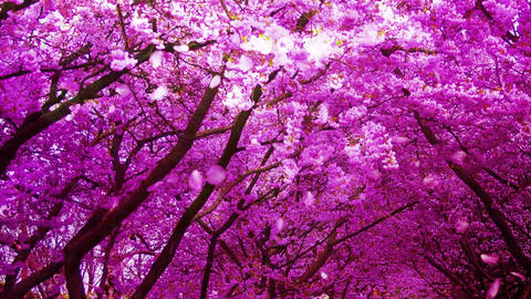 Cherry Blossoms 232565j Stock Video Footage