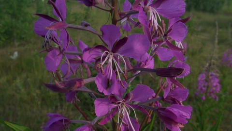 Violet flower against the grass Stock Video Footage