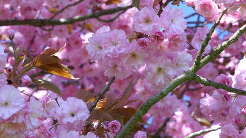 composition with pink sakura flowers Footage