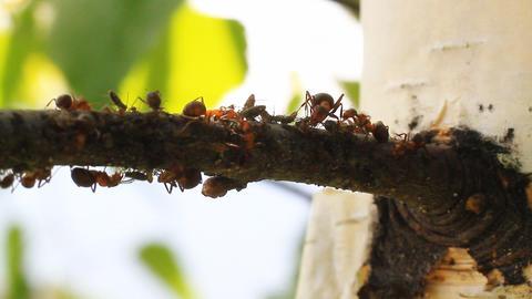 Ants on a Tree Footage