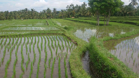 Panorama of rice fields in Indonesia Footage