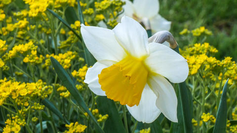 April blooming Narcissi flowers Footage