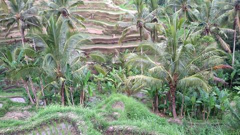 Rice terrace in Bali Footage