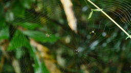 Spider Building a web in forest, Thailand Live Action