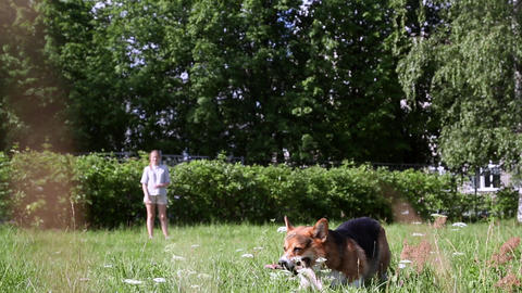 Welsh Corgi dog playing with stick in the grass Footage