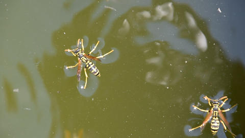 Wasps Polistes drink water. Wasps drink water from the... Stock Video Footage