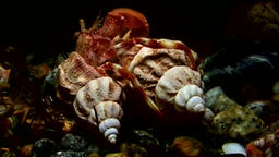 Cancer hermit crab drags shell underwater in search of food of White Sea ビデオ
