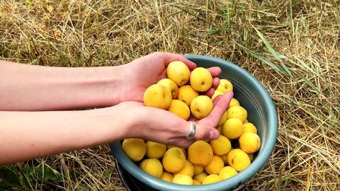 Ripe juicy organic apricots in the hands of a girl フォト