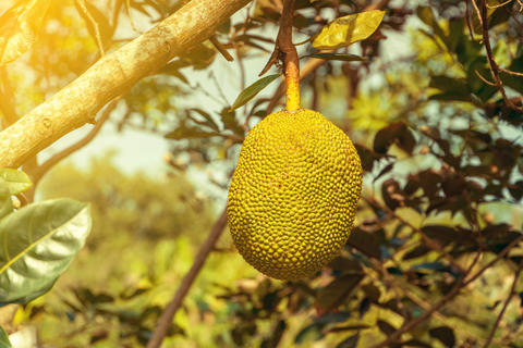 Jack fruits hanging in a tropical fruit garden Photo