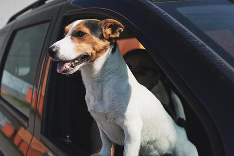 Dog while looking through car's window Fotografía