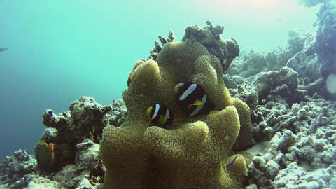 Maldives Anemonefish hiding in their bright orange anemone Live Action