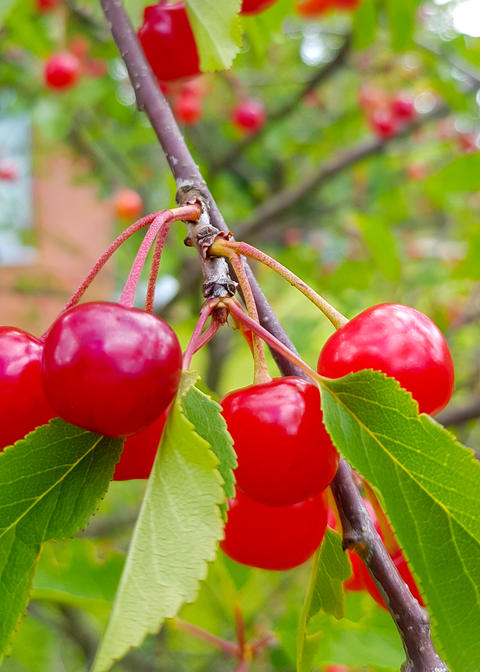 red ripe cherry fruit on a tree branch with green leafs フォト