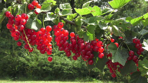 Red currant hanging on a bush in the garden Live Action