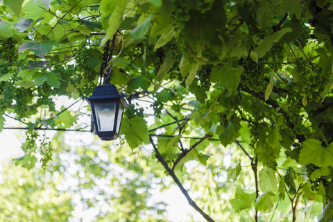 A street lamp hangs in a vineyard on a sunny day フォト