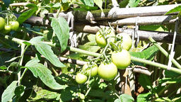Closeup of unripe homegrown green tomatoes hanging on vine garden, tied Footage