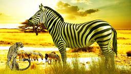 Zebra in African Sunset フォト